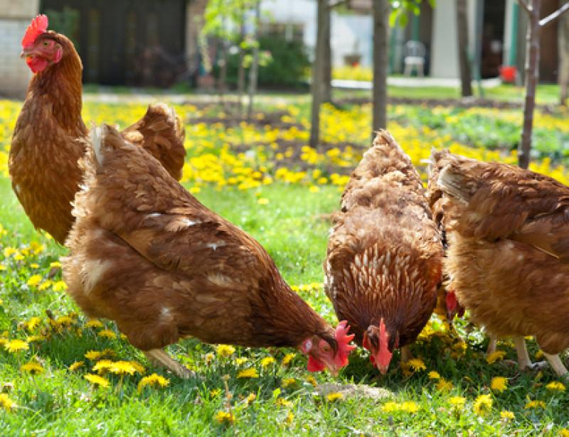 Pr s de limoges une maison de retraite pour les poules for Duree de vie des poules pondeuses