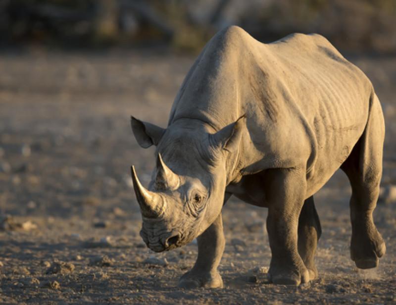 Longtemps En Voie D Extinction La Population De Rhinoceros Noirs Est En Hausse